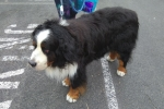 Bernese mountain dog - Clarence