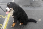 Bernese mountain dog - Diesel
