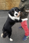 Border collie - Missie