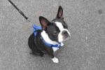 Boston terrier - Edgar