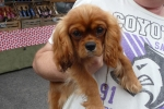 Cavalier king charles spaniel - Illy