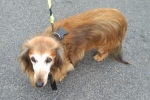 Dachshund (long-haired) - Gemma