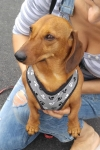 Dachshund (minature smooth-haired) - Uleh