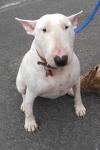 English bull terrier - Betty