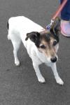 Fox terrier - Pip