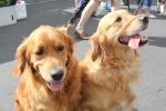 Golden retriever - Marley & Mia