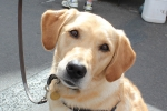 Labrador (golden) - Lily