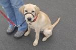 Labrador (golden)<br>Max