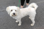 Moodle (maltese x poodle) - William