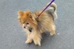 Pomeranian - Polly