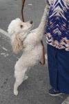 Poodle (miniature) - Chloe