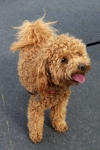 Poodle (toy) - Gipsy