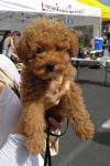 Poodle (toy) - Maverick
