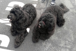 Portuguese water dogs - Betsie & Echo