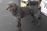 Scottish deerhound - Tyrone
