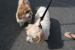 Shih tzu Buffy and zuchon frise Rocky