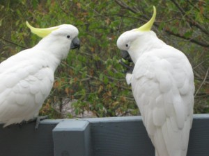 Cockatoos_sharing_appleseeds