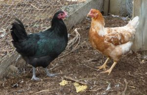 chickens - milly & tilly