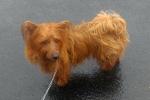 Australian terrier - Kipper