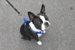 Boston terrier - Edgar