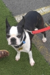 Boston terrier - Scout