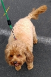 Cavoodle (cavalier king charles spaniel x poodle) - Bailey