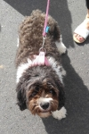 Cavoodle (cavalier king charles spaniel x poodle) - Stella