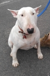 English bull terrier - Betty