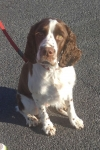 English springer spaniel - Jen