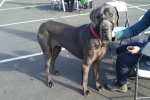 Great dane (blue) - Bismark