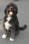 Groodle (golden retriever x poodle) - Jasper