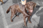 Labrador (chocolate) - Cooper