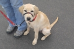 Labrador (golden)<br/>Max