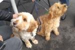 Spoodle (cocker spaniel x poodle) - Bruce & Merlin