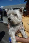 West highland terrier - Penny