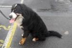 Bernese mountain dog - Diesel