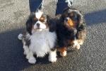 Cavalier king charles spaniels - Toby & Ollie