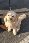 Cavoodle (cavalier king charles spaniel x poodle) - Daisy