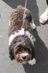 Cavoodle (cavalier king charles spaniel x poodle) - Stella
