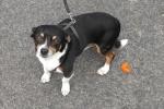 Chihuahua cross - Gilly