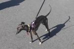Italian greyhound - Lupin