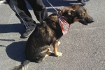 Kelpie x german shepherd - Wiggy