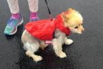 Pomeranian x chihuahua - Ziggy