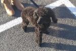 Poodle (miniature) - Eddie