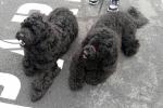 Portuguese water dogs - Betsie & Echo