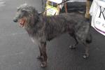 Scottish deerhound - Tyrone