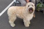 Soft-coated wheaten terrier - Martha