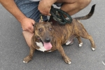 Staffordshire bull terrier x jack russell - Rusty