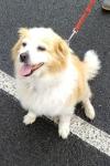 Tibetan spaniel x terrier - Ollie