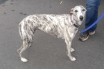 Whippet - Gracie